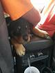 Rottweiler Puppy For Sale in PENSACOLA, Florida,