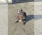 Small Photo #13 French Bulldog Puppy For Sale in CLACKAMAS, OR, USA