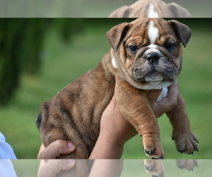 View Ad Bulldog Puppy For Sale Near South Carolina Summerville Usa Adn 29825