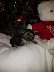 Morkie Puppy For Sale in MOBILE, AL, USA
