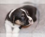 Puppy 7 Welsh Cardigan Corgi