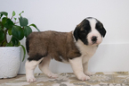 Saint Bernard Puppy For Sale in KENT, OH, USA
