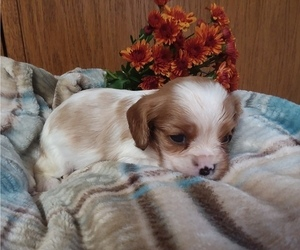 Cavalier King Charles Spaniel Puppy for sale in CAYUGA, NY, USA