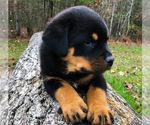 Small #5 Rottweiler