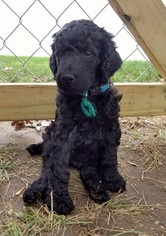 Poodle (Standard) Puppy For Sale in MANLY, IA, USA