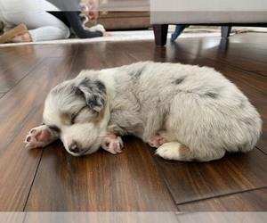 Miniature Australian Shepherd Puppy for Sale in HANOVER, Minnesota USA