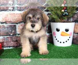 Schnoodle (Miniature) Puppy for sale in BEL AIR, MD, USA