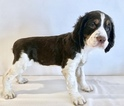 Small #4 English Springer Spaniel