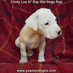 Small Photo #15 Dogo Argentino Puppy For Sale in PINEVILLE, MO, USA
