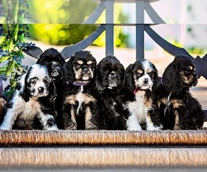 Cocker Spaniel Puppy for Sale in VISTA, California USA