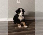 Bernese Mountain Dog Puppy For Sale in WAUCHULA, FL, USA