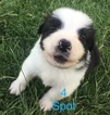 Australian Shepherd Puppy For Sale in LYNN, IN