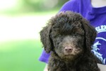 Goldendoodle Puppy For Sale in LA VERGNE, TN,