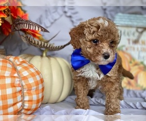 Poodle (Toy) Dog for Adoption in LANCASTER, Pennsylvania USA