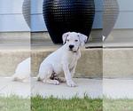 Small #26 Dogo Argentino