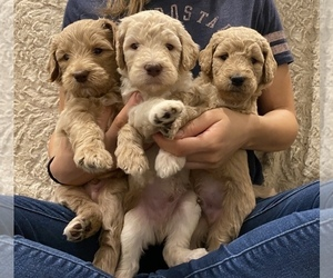 Goldendoodle-Poodle (Standard) Mix Puppy for Sale in SACRAMENTO, California USA