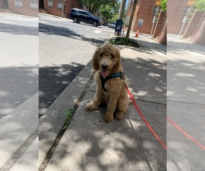 Irish Doodle Puppy for sale in MID CITY WEST, PA, USA