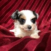Yorkshire Terrier Puppy For Sale in HOUSTON, Texas,