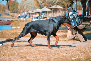 Doberman Female Diona needs new home