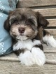 Havanese Puppy For Sale in MOUNT PLEASANT, SC, USA