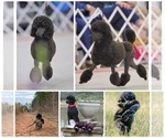 AKC Miniature Poodle Puppies