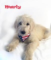 Goldendoodle Puppy for sale in DEMOPOLIS, AL, USA