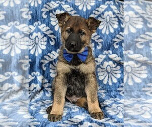 German Shepherd Dog Puppy for sale in CHRISTIANA, PA, USA