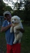 Great Pyrenees Puppy For Sale in MONTGOMERY, TX