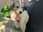 Great Pyrenees Puppy For Sale in WINGINA, VA