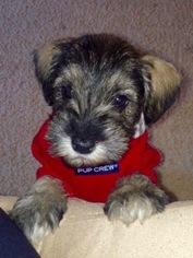 Schnauzer (Miniature) Puppy for sale in HAYWARD, CA, USA