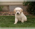 Small #15 Golden Retriever