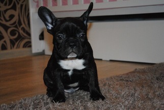 French Bulldog Puppy For Sale in DANIA, FL, USA