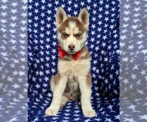 Siberian Husky Puppy for sale in KIRKWOOD, PA, USA