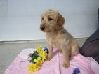 Labradoodle Puppy For Sale in LEO, Indiana,