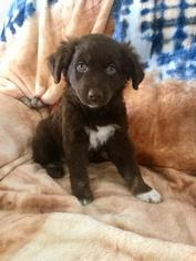 Australian Shepherd Puppy For Sale in WALTON, KY, USA