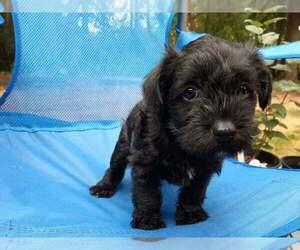 Schnauzer (Miniature) Puppy for sale in GIG HARBOR, WA, USA