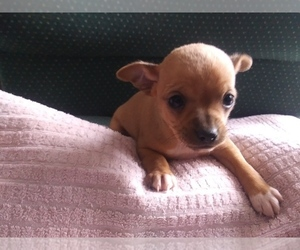 Chihuahua Puppy for sale in KALAMAZOO, MI, USA