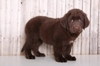 Newfoundland Puppy For Sale in MOUNT VERNON, OH,