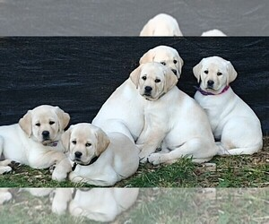 Labrador Retriever Puppy for Sale in LACEY, Washington USA