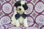 Schnoodle (Miniature) Puppy For Sale in LANCASTER, PA, USA