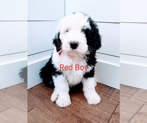 Sheepadoodle Puppy for sale in CANYON, TX, USA