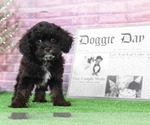 Charlie Magnificent Tri Male CavaPoo Puppy