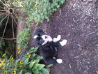 Alaskan Husky-Australian Shepherd Mix Puppy For Sale in SUGARCREEK, OH