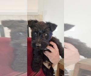 Scottish Terrier Puppy for sale in PORTERVILLE, CA, USA