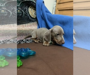 Dachshund Puppy for Sale in RICHMOND, Texas USA