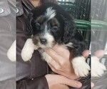 Bernese Mountain Dog-Poodle (Toy) Mix Puppy For Sale in BELLVILLE, OH, USA
