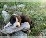 Puppy 2 Great Pyrenees-Siberian Husky Mix