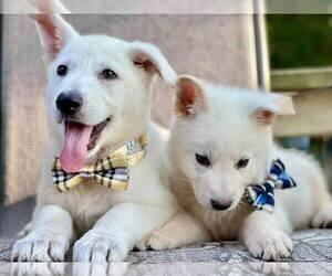 German Shepherd Dog Puppy for sale in FENNVILLE, MI, USA
