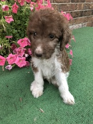 Labradoodle Puppy For Sale in PLAINS, KS, USA