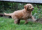 Goldendoodle Puppy For Sale in DENVER, PA, USA